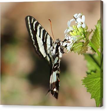 Zebra Swallowtail Canvas Print by Candice Trimble
