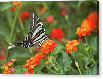 Zebra Swallowtail Eurytides Marcellus Canvas Print by Panoramic Images