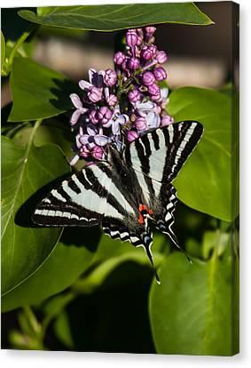 Zebra Swallowtail On Lilac Canvas Print by Lara Ellis