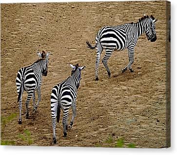 Zebra Tails Canvas Print by AJ  Schibig