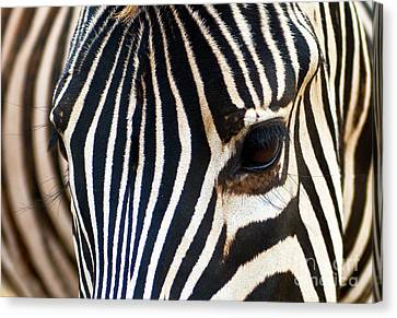 Canvas Print featuring the photograph Zebra Vibrations by Charles Lupica