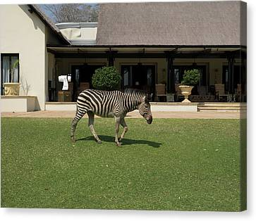 Zebra Walking Across Grass At Royal Canvas Print by Panoramic Images