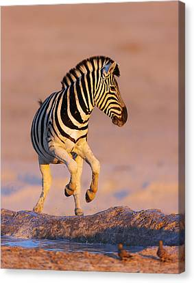 Zebra Canvas Print - Zebras Jump From Waterhole by Johan Swanepoel