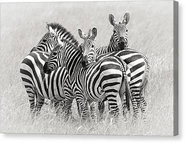 Embrace Canvas Print - Zebras by Kirill Trubitsyn