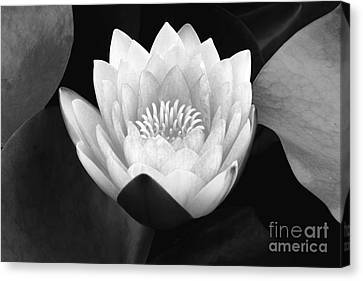 Canvas Print featuring the photograph Waterlily Rising  by John F Tsumas