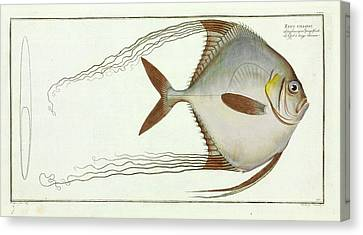 Zeus Ciliaris (alectis Ciliaris) Canvas Print by Natural History Museum, London