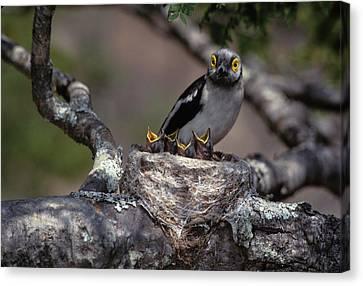 Zimbabwe White Helmutshrike On Nest Canvas Print by Jaynes Gallery