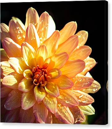 Zinnia Canvas Print by Cathy Donohoue