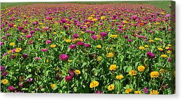 Zinnia Flowers En Masse Canvas Print by Sandi OReilly