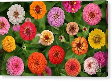 Zinnia Garden Canvas Print by E B Schmidt