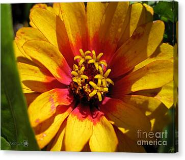 Zinnia Named Swizzle Scarlet And Yellow Canvas Print by J McCombie