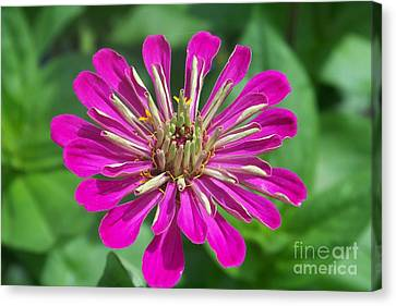 Canvas Print featuring the photograph Zinnia Opening by Eunice Miller