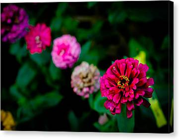 Zinnia Singapore Flower Canvas Print by Donald Chen