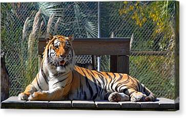 Zootography3 Tiger In The Sun Canvas Print by Jeff at JSJ Photography