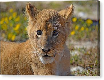 Zootography3 Zion The Lion Cub Canvas Print by Jeff at JSJ Photography