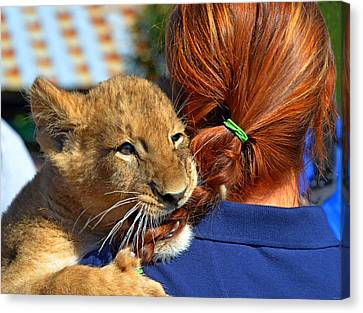 Zootography3 Zion The Lion Cub Likes Redheads Canvas Print by Jeff at JSJ Photography