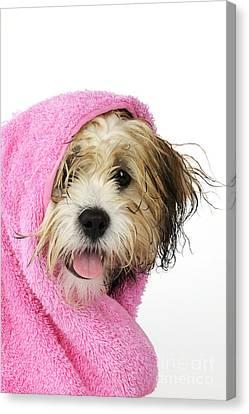 Zuchon Teddy Bear Dog, Wet In Pink Towel Canvas Print