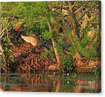 Canvas Print featuring the photograph  Alligator On Nest by Luana K Perez