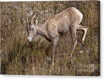 Bighorn Ewe Canvas Print by Ronald Lutz