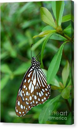 Canvas Print featuring the photograph  Blue Tiger Butterfly by Eva Kaufman