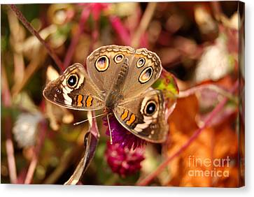Canvas Print featuring the photograph  Buckeye Butterfly  by Eva Kaufman