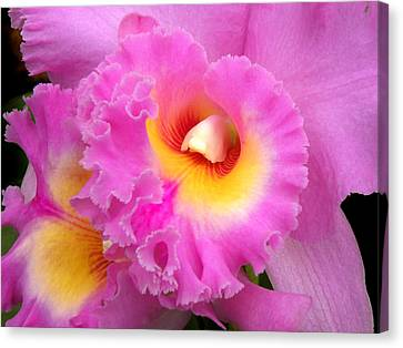 Cattleya Orchid 1 Canvas Print by Julie Palencia