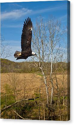 Canvas Print featuring the photograph  Eagle Circleing Her Nest by Randall Branham