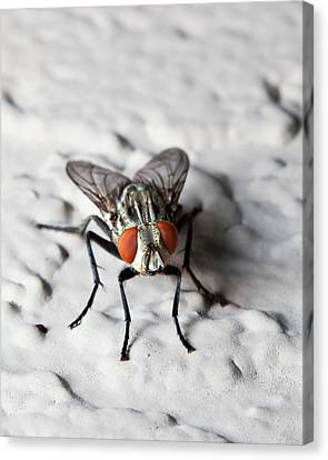 Fly On The Wall Canvas Print by Nick  Shirghio