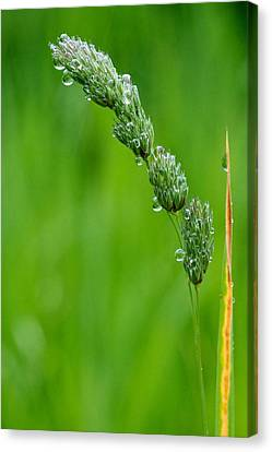 Grass Seed Canvas Print by Scott Holmes