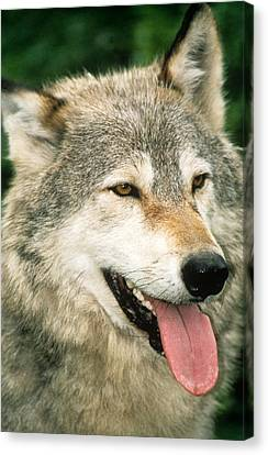Happy Gray Wolf Canvas Print by Larry Allan