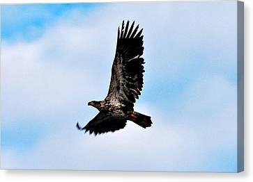 Canvas Print featuring the photograph  Juvenile Bald Eagle by Peggy Franz
