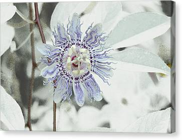 Canvas Print featuring the photograph  Passion Flower On White by Tom Wurl