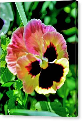 Canvas Print featuring the photograph  Pink And Yellow Pansy by Helen Haw