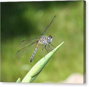 Sunbathing Dragonfly Canvas Print by Daphne Sampson
