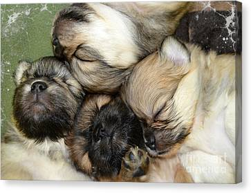 The Gang   Cute Puppies Canvas Print by Peggy Franz