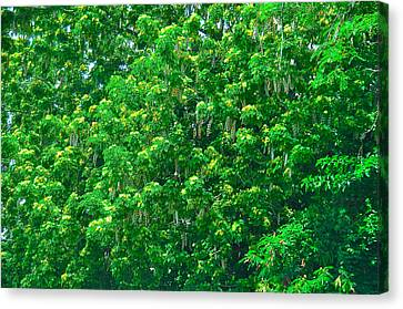Tibit Tree Canvas Print by David Alexander