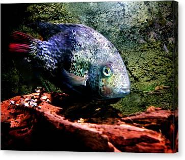 1 Fish Living In Denmark Canvas Print by Colette V Hera  Guggenheim