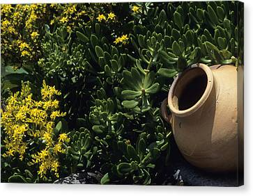 A Clay Planter Surrounded By Succulent Canvas Print by David Evans