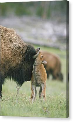 A Female Bison Bison Bison Stands Canvas Print by Tom Murphy