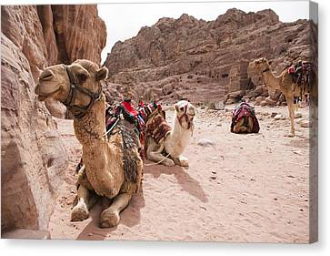 Four Animal Faces Canvas Print - A Group Of Camels Sit Patiently by Taylor S. Kennedy