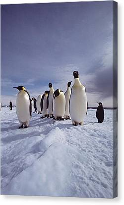 A Group Of Emperor Penguins Canvas Print by Bill Curtsinger