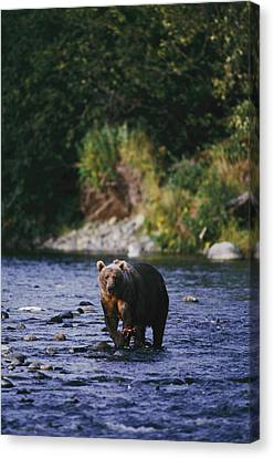 A Kodiak Brown Bear Ursus Middendorfii Canvas Print by George F. Mobley