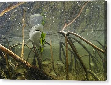 A Lemon Shark Pup Swims Among Mangrove Canvas Print by Brian J. Skerry