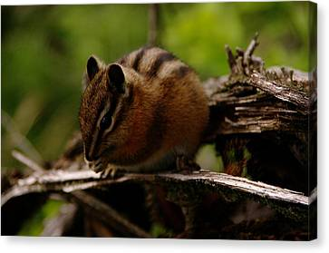 A Little Chipmunk Canvas Print by Jeff Swan