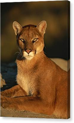 A Portrait Of A Mountain Lion Canvas Print by Norbert Rosing