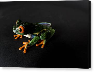 A Red-eyed Tree Frog Agalychnis Canvas Print by Joel Sartore