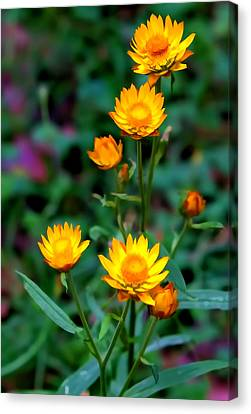 Canvas Print featuring the photograph A Simple Daisy by Paul Svensen