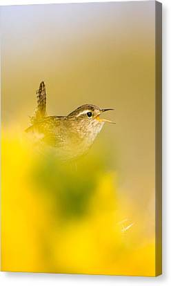 A Singing Wren Canvas Print