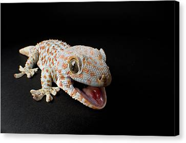 A Tokay Gecko Gekko Gecko At The Sunset Canvas Print by Joel Sartore