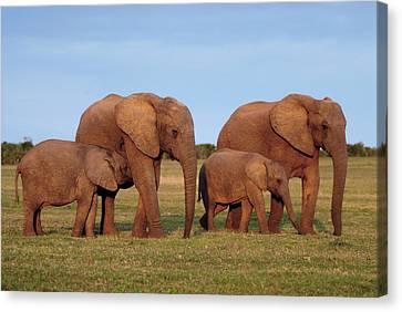 African Elephants Canvas Print by Peter Chadwick